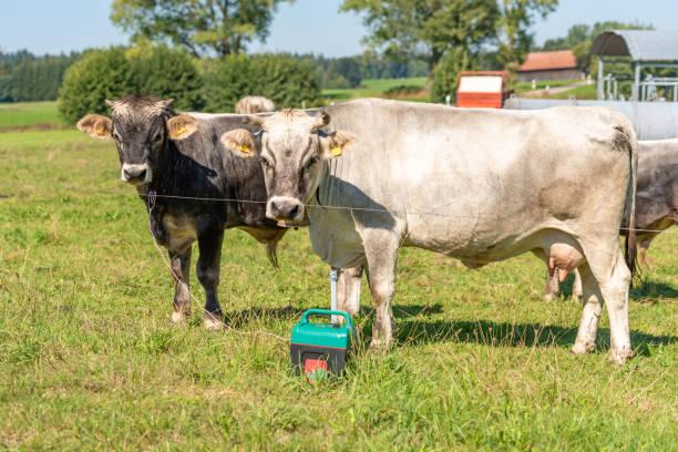 Zwei Kühe stehen auf einer Weide – Foto