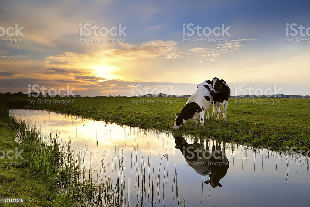 two cows by river at sunset stock photo