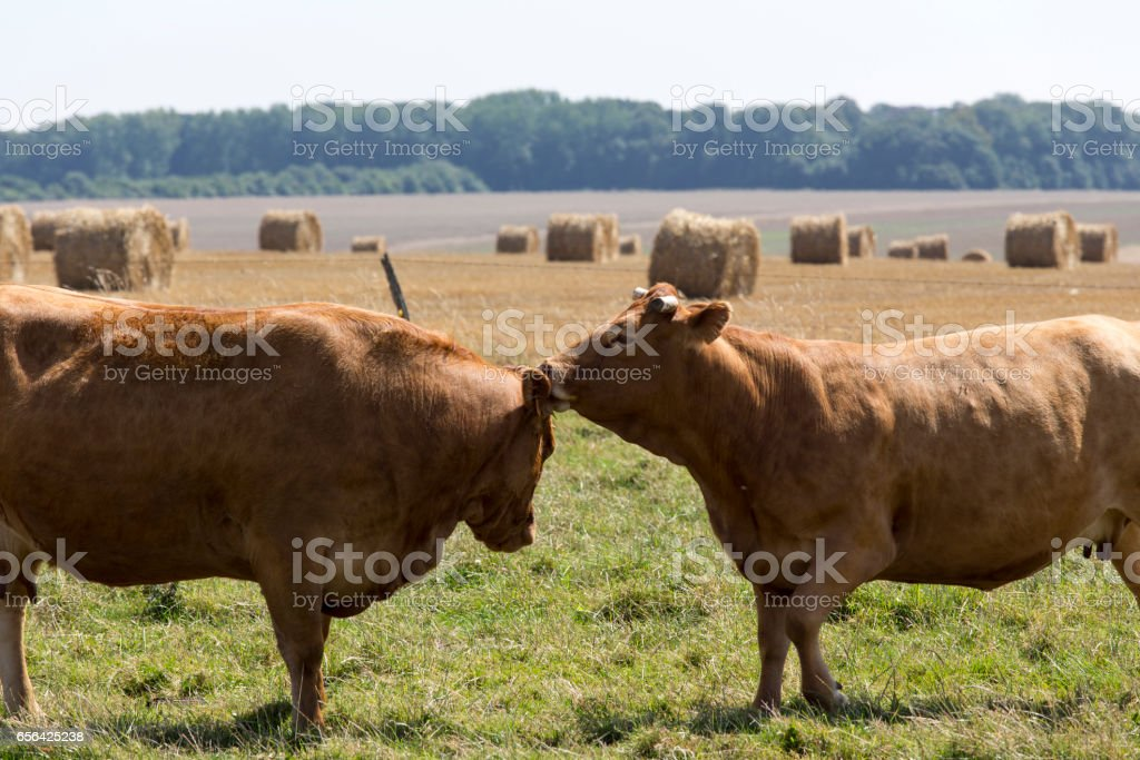 two cows close up kissing stock photo