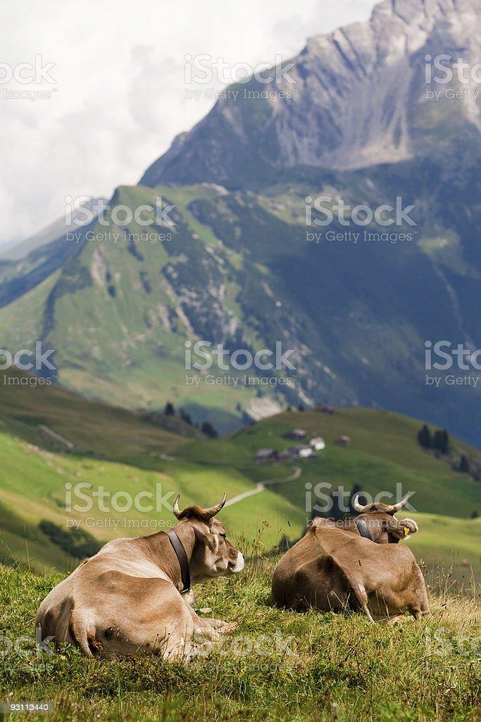 Zwei Kühe enjoing einen Blick – Foto