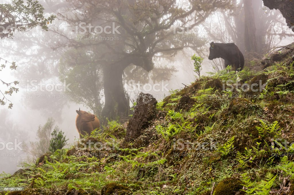Two cows face to face in the fog forest, Madeira royalty-free stock photo