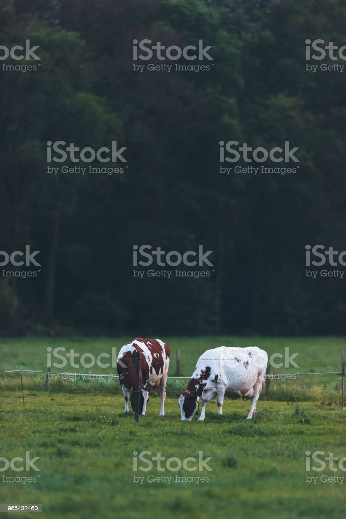 Two cows grazing in spring meadow at dusk. royalty-free stock photo
