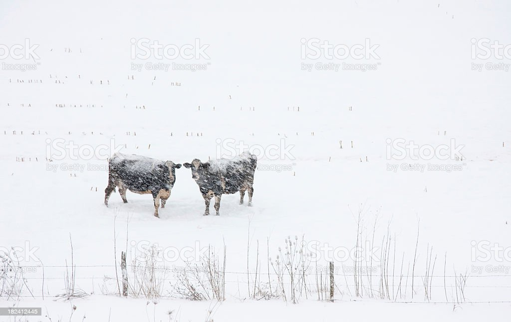 Two Cows in a Blizzard royalty-free stock photo