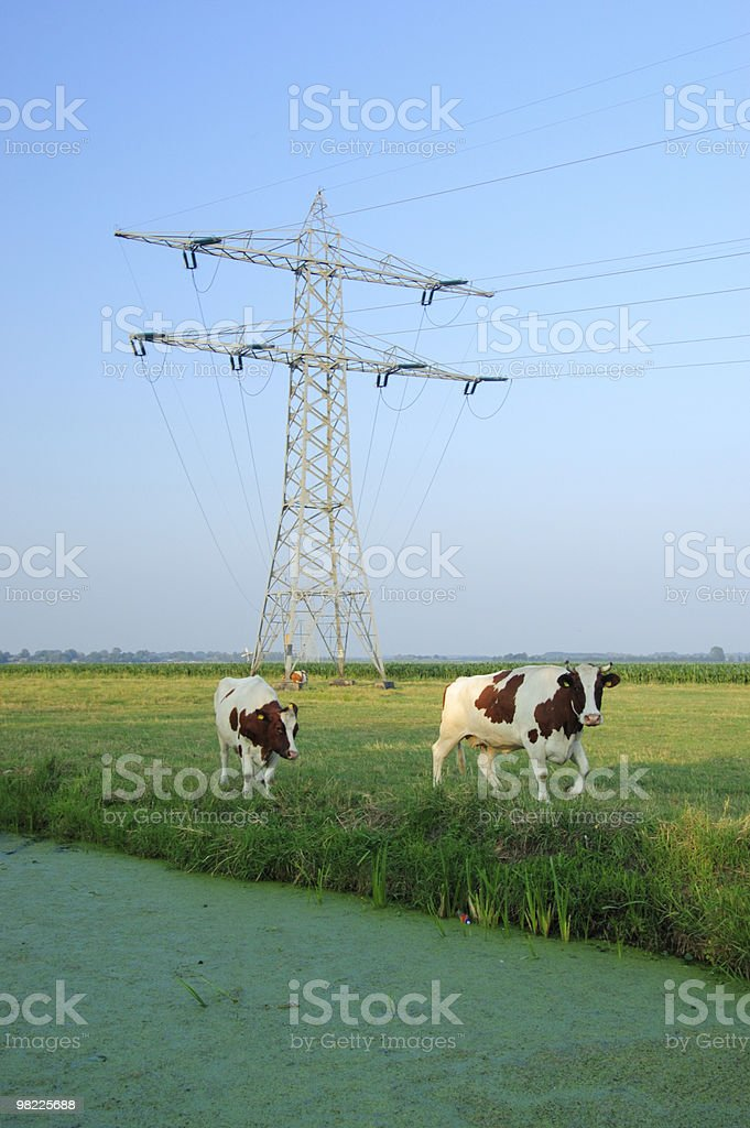 Two cows in a meadow royalty-free stock photo