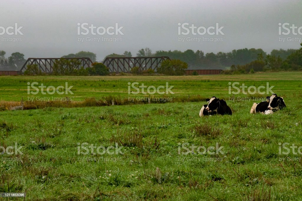 Two cows laying down in a field with a train bridge in the background. stock photo