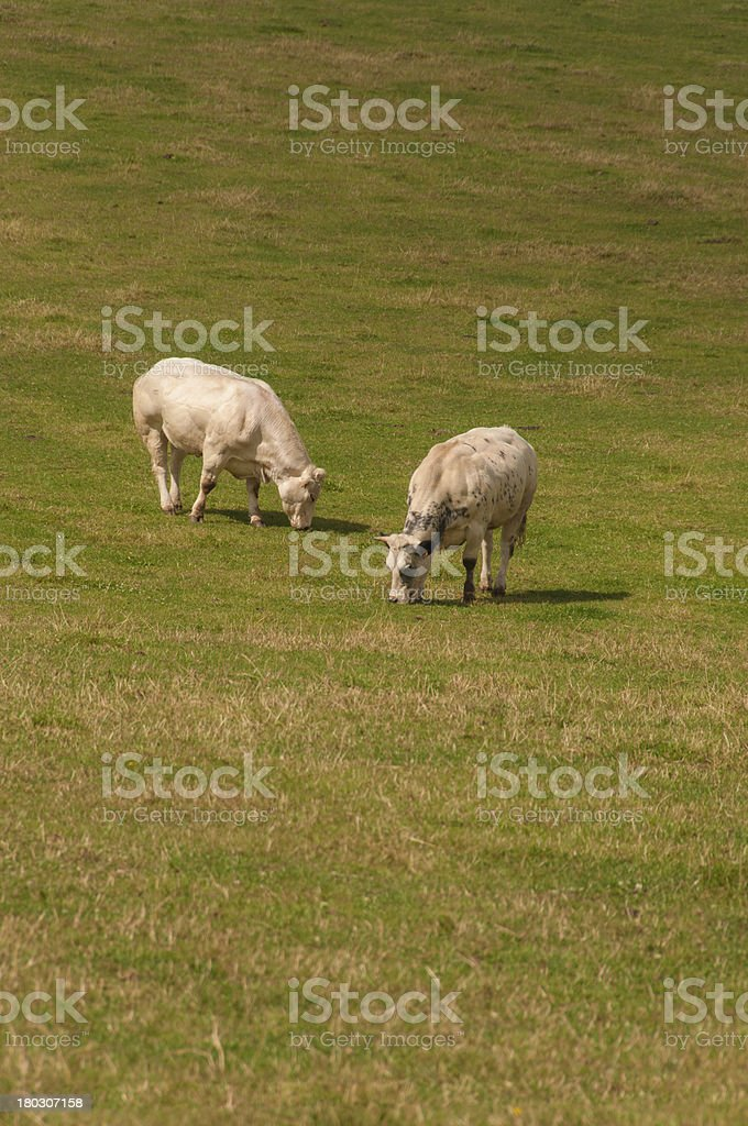 Two cows near Huy, Belgium stock photo