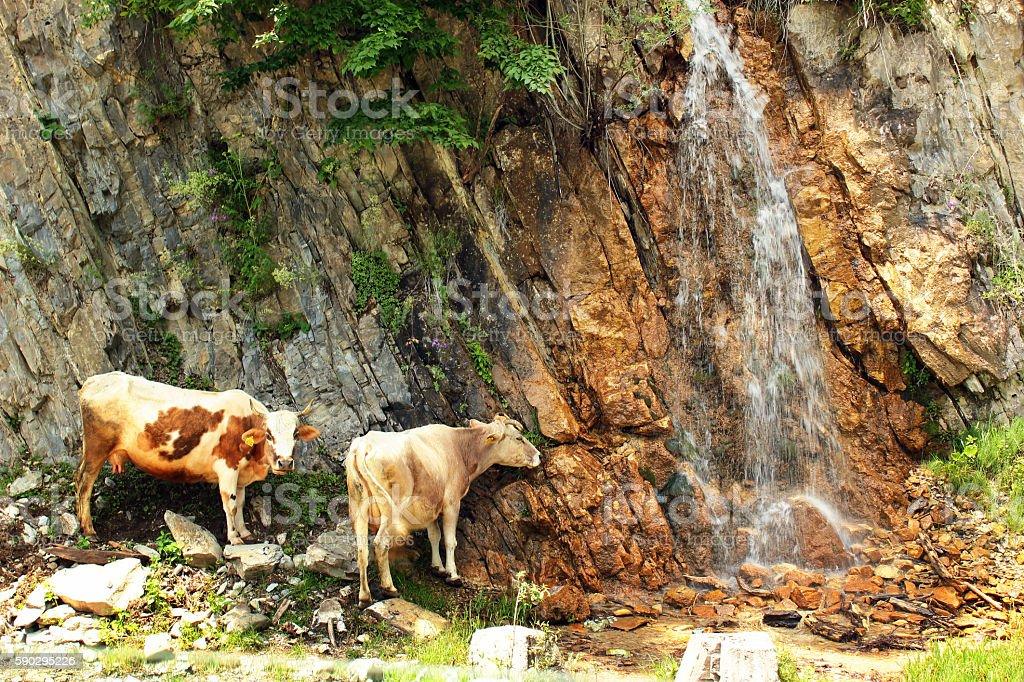 Two cows near the waterfall royaltyfri bildbanksbilder