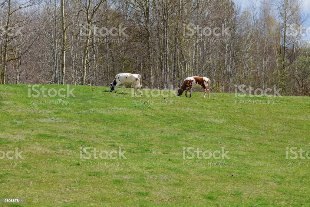 Two cows on green pasture stock photo