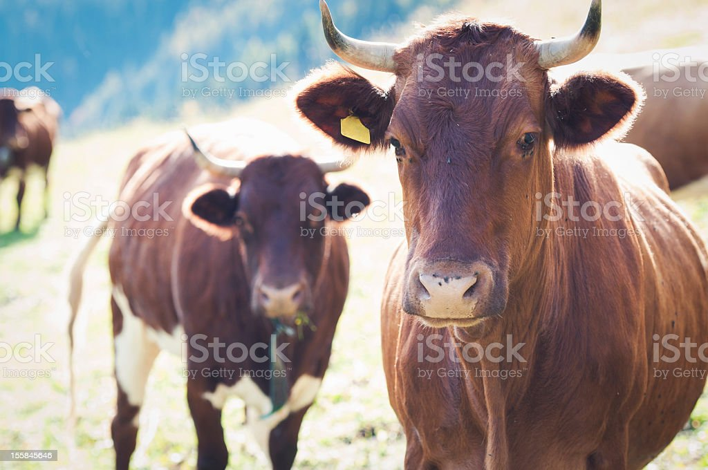 Two cows on meadow stock photo