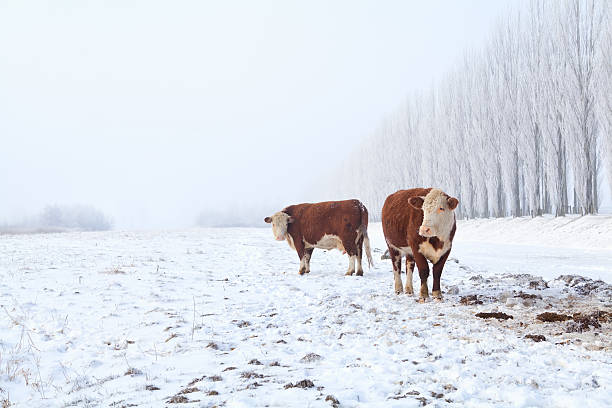two cows on winter pasture foto