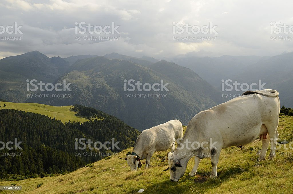 Two cows royalty-free stock photo