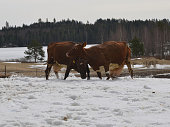 istock Two cows playfully fighting in the middle of winter 1128272010