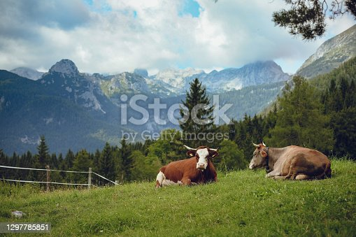 Domestic cows resting and chewing the cud in meadow