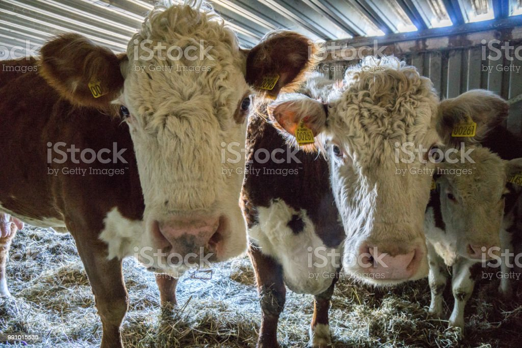 two cows standing in the stable stock photo