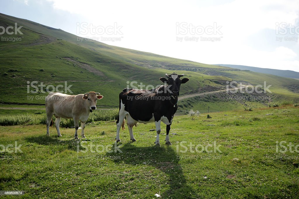 Two cows standing together on a grassy hill landscape  stock photo
