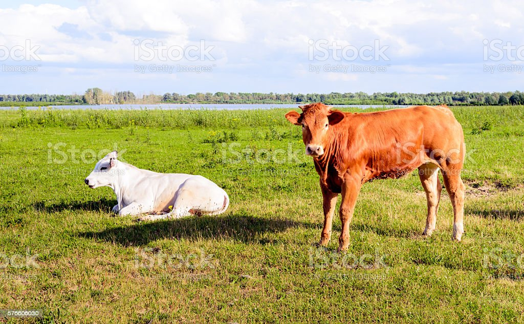 Two cows together in a sunny meadow stock photo