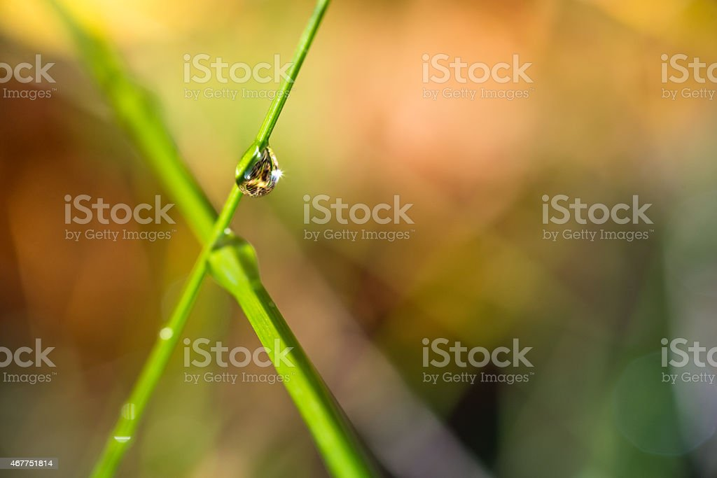 two crossed blades of grass with a water droplet stock photo