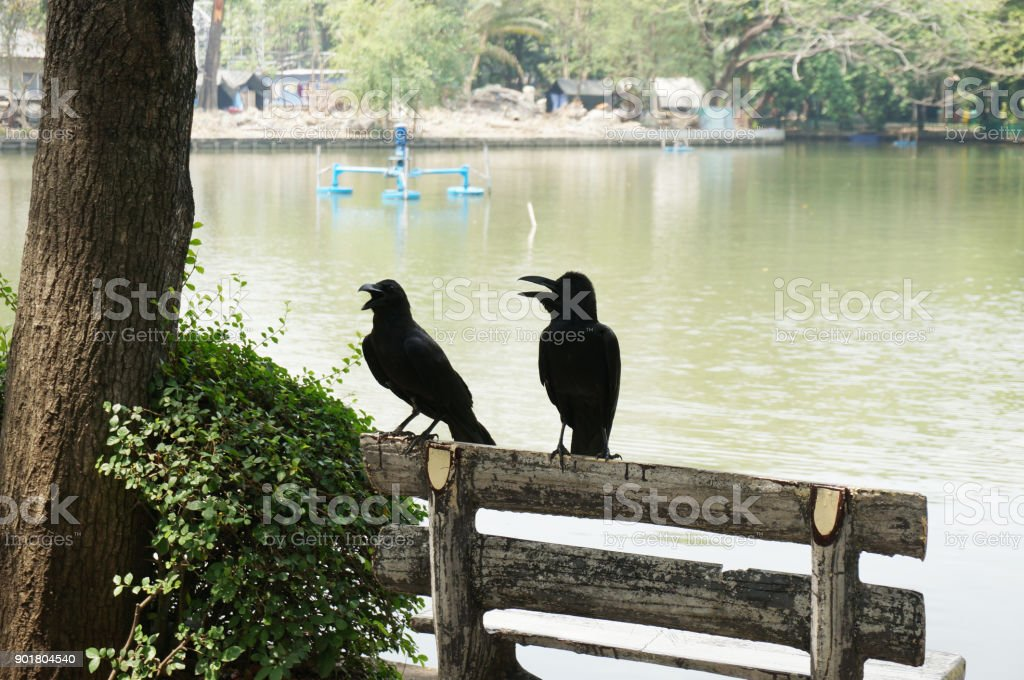 two crow on the bench stock photo