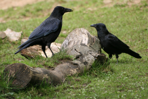 Two crows beside a tree trunk
