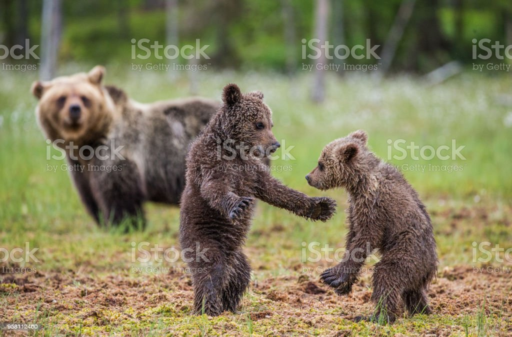 Two cubs play with each other next to the she-bear. stock photo