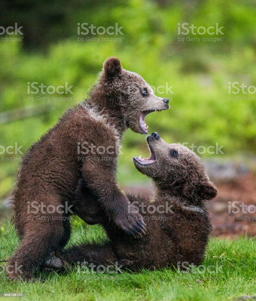 Two cubs play with each other. stock photo