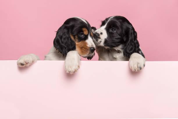 Two cuddling cocker spaniel puppies hanging over the border of a picture id1278387489?b=1&k=6&m=1278387489&s=612x612&w=0&h=nxskg9gqcw0gg2vc1v5hemn g4t9e p ru818xp owe=