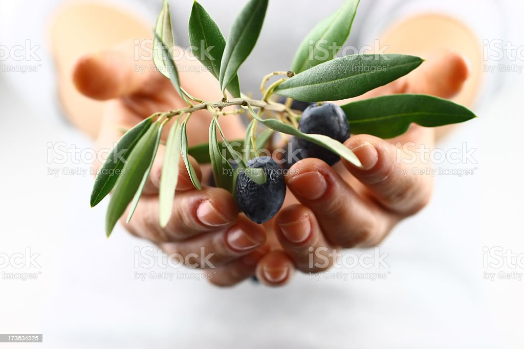 Two cupped hands offering olive branch stock photo