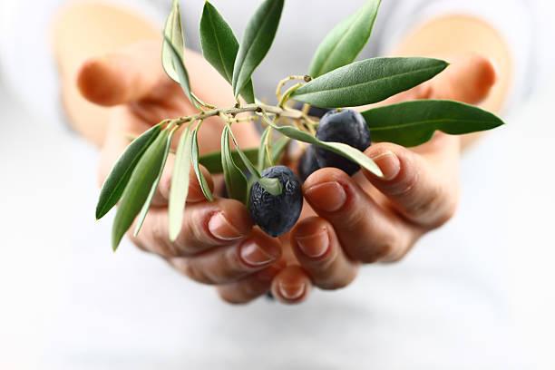 ramoscello d'ulivo nel palmo della mano - ramoscello d'ulivo foto e immagini stock