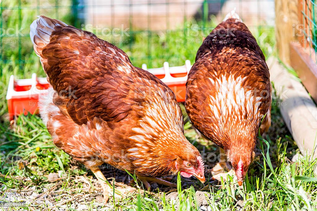Two curious brown chickens searching for food stock photo