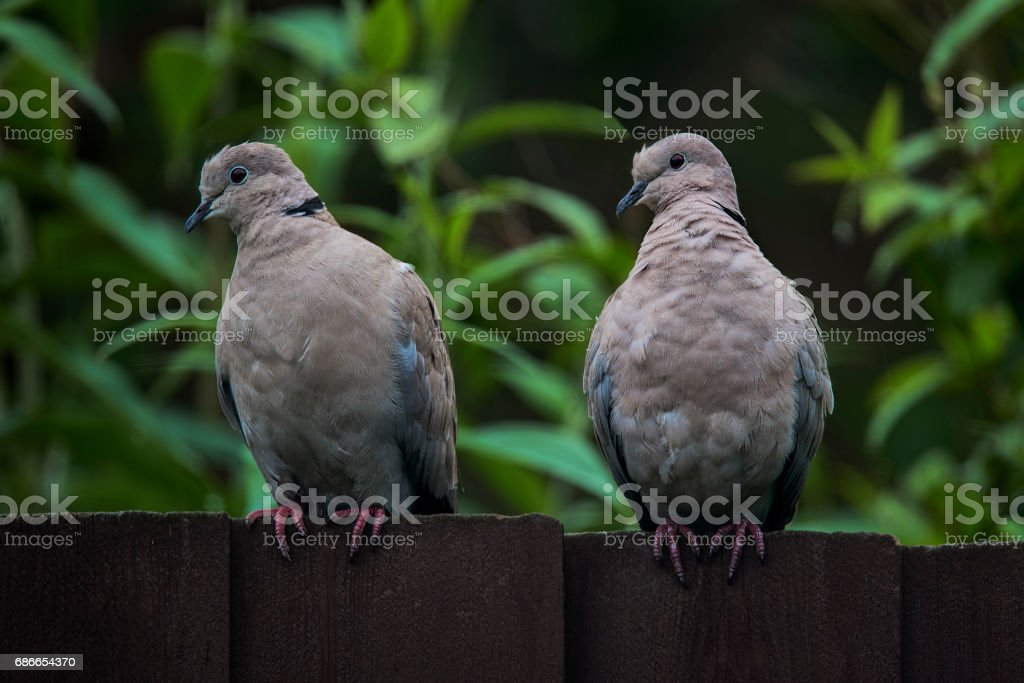 Two curious collared Doves sitting on a dark wooden fence royalty-free stock photo