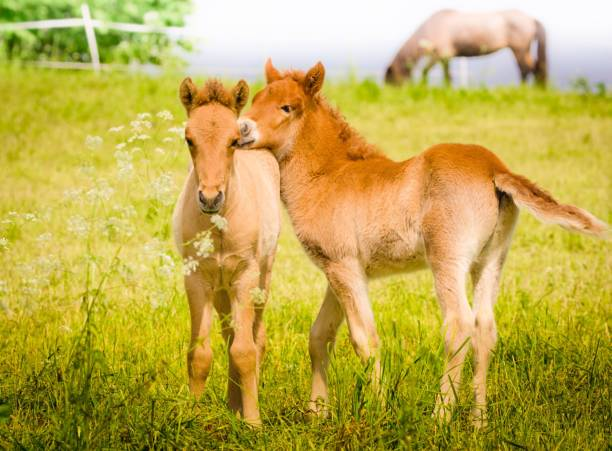 Two curious foals are playing in the meadow, it`s springtime Cute little foal, beside it`s mother is exploring the surrounding in the summer sun. It`s sometimes curious, sometimes shy. foal young animal stock pictures, royalty-free photos & images