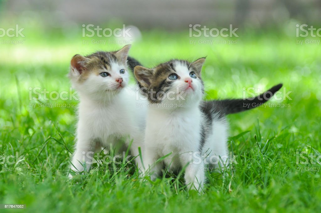 Two curious little kittens play in the grass. stock photo
