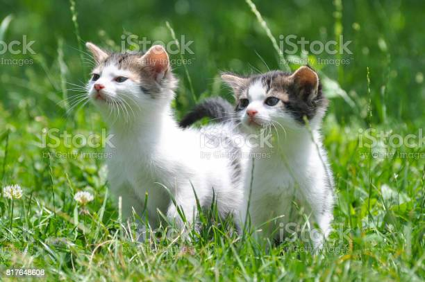 Two curious little kittens play in the grass picture id817648608?b=1&k=6&m=817648608&s=612x612&h=vyogv  l5lormifl861 qow1pulretdhqcnlacpbh8k=