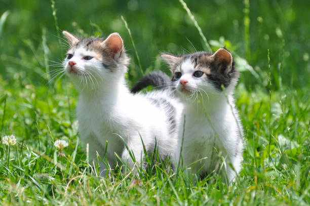 Two curious little kittens play in the grass picture id817648608?b=1&k=6&m=817648608&s=612x612&w=0&h=snoithqc6bkzzaknnxv jiwxzcjnq4t6r5bbixdtlow=