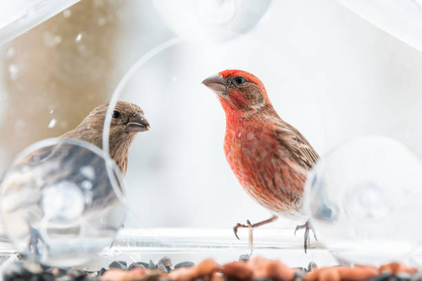 Two curious looking pair couple female red male house finch birds picture id1073342742?b=1&k=6&m=1073342742&s=612x612&w=0&h=dw 1ceakjv1fuer2li cdkhf8cpljs7ql tqawrf2qk=