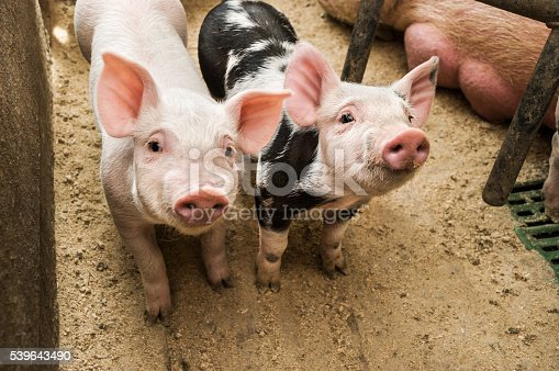 istock Two curious piglets in pigpen 539643490