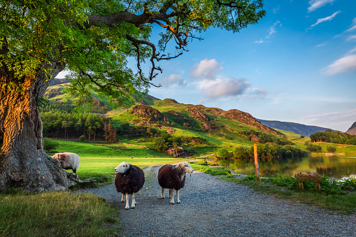 Two curious sheeps on pasture at sunset in Lake District