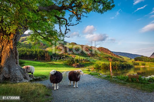 istock Two curious sheeps on pasture at sunset in Lake District 614739588