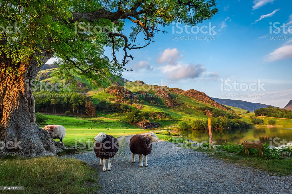Two curious sheeps on pasture at sunset in Lake District stock photo