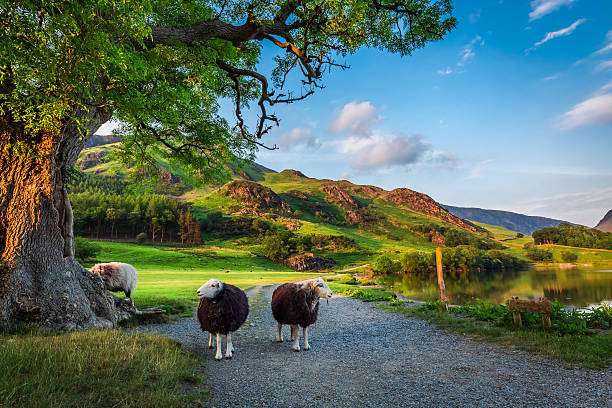 two curious sheeps on pasture at sunset in lake district - inghilterra foto e immagini stock