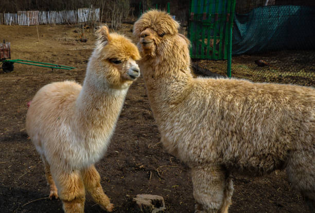 Two cute alpaca baby stock photo