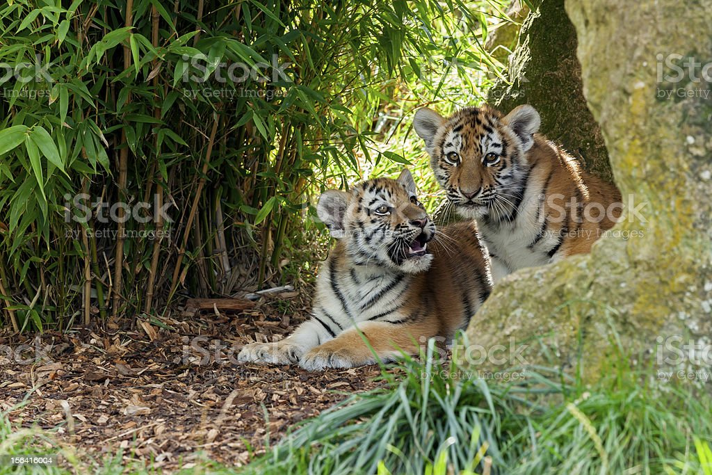 Two Cute Amur Tiger Cubs in Rocky Shelter stock photo