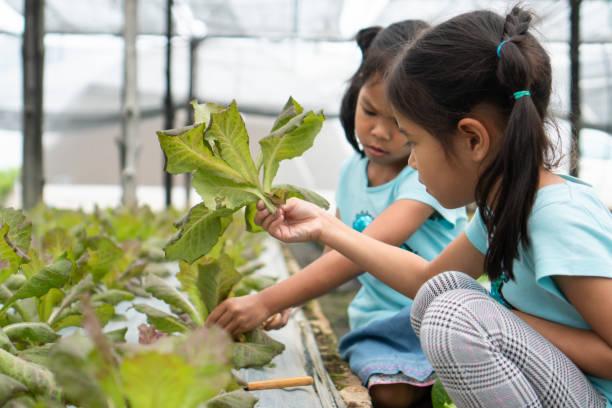 Zwei niedliche asiatische Kinder Mädchen ernten frisches Gemüse in Bio-hydroponische GemüseAnbau Bauernhof – Foto