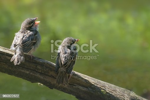 521620252istockphoto Two cute baby birds, house sparrow fledglings (Passer domesticus) on a branch calling for food against a blurry green background, copy space 960322522