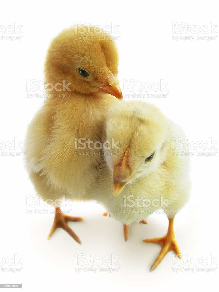 Two cute baby chicken isolated on white. royalty-free stock photo