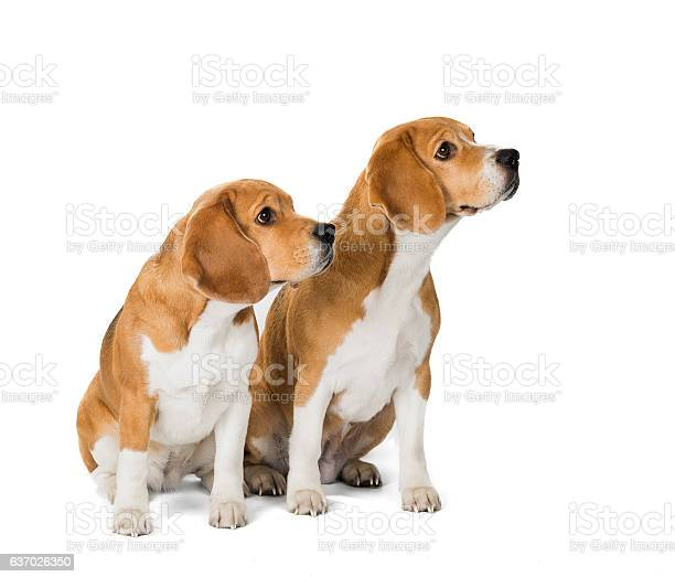 Two cute beagle dog isolated on white background picture id637026350?b=1&k=6&m=637026350&s=612x612&h=3sabdmmwbnylg2qnx1flpkutypwtp9n03hsi6ycavag=