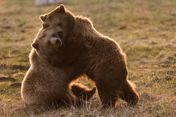 Two cute bears cuddle together​​​ foto