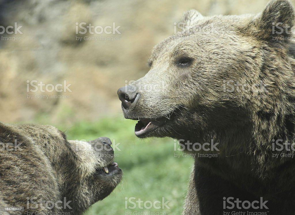 two cute bears while playing merrily stock photo