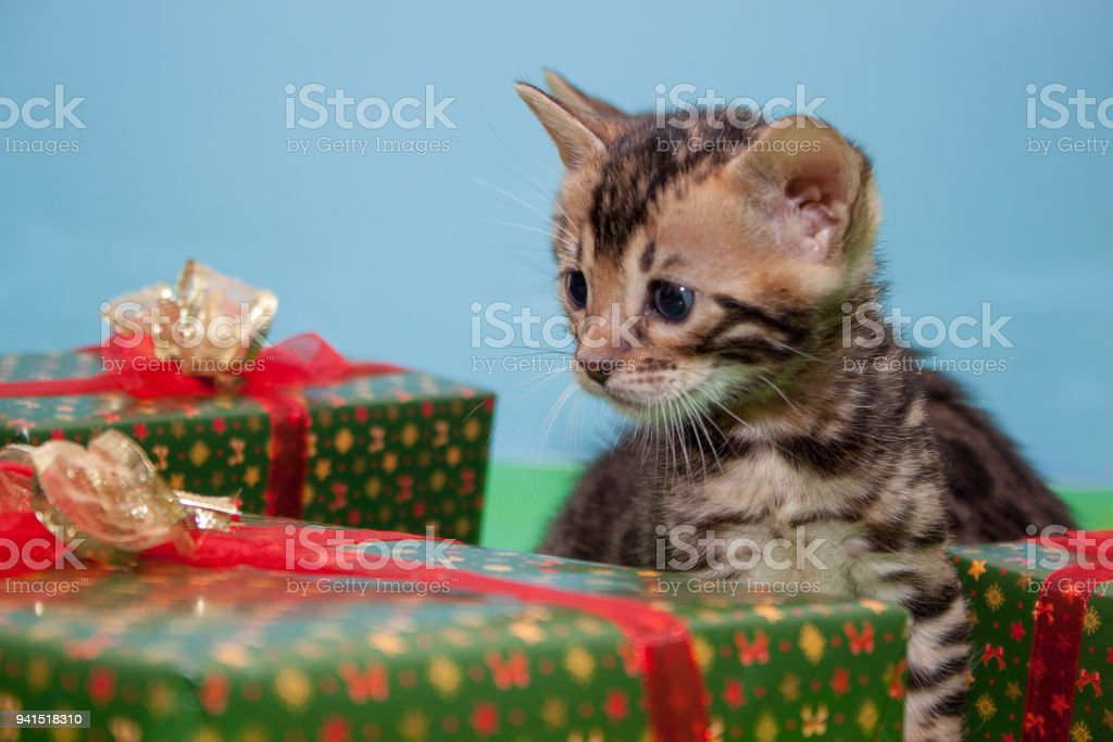 Two Cute Bengal Kittens Are Sitting Near The Festives Gifts