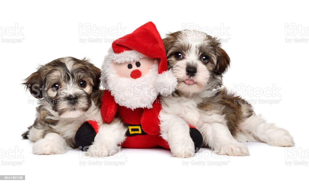 Two cute Bichon Havanese puppies with a Santa plush toy stock photo